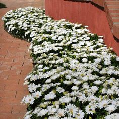 Add a clear white to your Moon Garden with Osteospermum Akila® Daisy White. Akila® Daisy White is a tidy, uniform plant with open flowers that produces non-stop blooms all summer long, positively glowing in the evening! Even southern judges praised Akila's ability to keep blooming in the heat and they also showed more drought tolerance than other osteos. White Flowers, Beautiful Flowers, Moon Garden, Small Space Gardening, Judges, Hot Days, Summer Garden, Flower Making, Small Spaces
