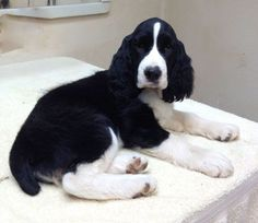 What a gorgeous pup! Looks a lot like my Jack did as a puppy (from the Ramblewood English Springer Spaniel kennels) :) ////////Gold Camp Springers Springer Spaniel Puppies, English Cocker Spaniel, Spaniel Dog, Spaniel Breeds, Dog Breeds, I Love Dogs, Cute Dogs, Cockerspaniel, Dogs And Puppies