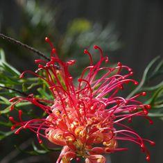 How to grow Australian native flowers Australian Native Garden, Australian Native Flowers, Garden Landscape Design, Garden Landscaping, Kangaroo Paw, Drought Tolerant, Botanical Gardens, Nativity, Home And Garden