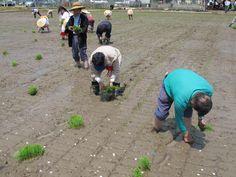 【御田植】平成24年5月26日、伝統的稲作行事『御田植』(主催・巴会)にて。早乙女に続き、お田植参加者も田植えを行いました③。