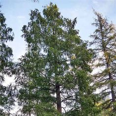 Bottom-up view of a tall dawn redwood tree against a pale blue sky with wispy clouds. Potted Trees, Trees To Plant, Fast Growing Shade Trees, Cold Climate Gardening, Drought Tolerant Trees, Arbor Day Foundation, Arbour Day, Modern Landscaping, Small Trees