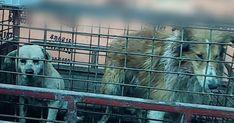 Une enquête profondément dérangeante tournée en caméra cachée par PETA Asie révèle que des chiens sont tabassés et tués pour que leur peau puisse servir à fabriquer des gants, des ceintures, des garnitures de cols de vestes et d'autres accessoires en cuir. Apportez votre aide à PETA et à notre travail pour protéger les chiens et les autres animaux de la cruelle industrie des peaux animales !
