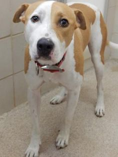 Petango.com – Meet Rex-Tags in Tray, a 3 years 10 months Terrier, American Pit Bull / Mix available for adoption in ARLINGTON, TX