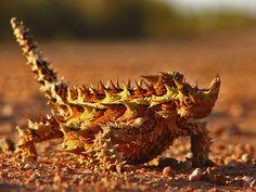 Thorny Devil - Central Desert