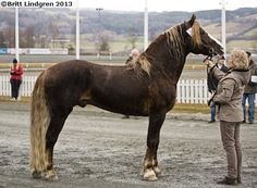 Coldblood Trotter stallion Slåttodin