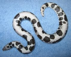 Holloway Reduced Pattern Anery (AKA: HRP) Kenyan Sand Boa by Russo's Reptiles - MorphMarket USA Amphibians, Reptiles, Rosy Boa, Snake Breeds, Boa Constrictor, Ball Python, Get Well Cards, Lululemon Logo, Pattern
