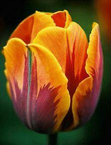 Orange Irene Tulips. The Colour of Thursday. One Million Tulips.