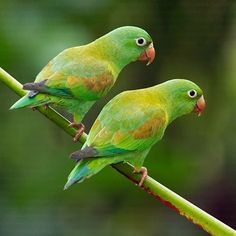 The Orange chinned Parakeet is found in Colombia, Casta Rica, EL Salvador.....