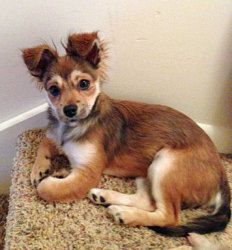 Lola is an adoptable Chihuahua Dog in Howell, MI. Lola is a female Chihuahua mix, DOB October 15, 2012. This silky soft brown eyed baby weighing a maximum of 2 lbs. loves loves loves to snuggle. Lola ...
