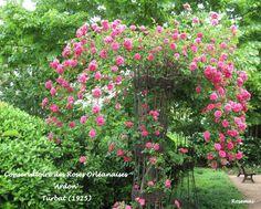 Orléans et ses roses anciennes : 'Ardon' et sa généreuse floraison de fleurs rose foncé, obtenu par Turbat en