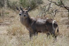 Water Buck with what looks like two heads, Kruger National Park, South Africa
