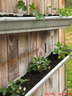 Grow Your Own Gutter Strawberries - @Debbie Phillips, I like this version a lot with the same similar method as the one you liked. Could do on the side of a shed!