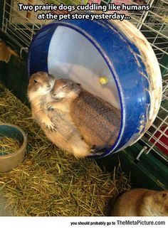 Prairie Dogs Cuddling Like Humans (why does a pet store have these little guys?!)