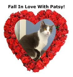 Meet+Patsy+Cline,+a+Petfinder+adoptable+American+Shorthair+Cat+|+Urbana,+OH+|+Stop+by+Paws+Animal+Shelter+located+at+1535+West+US+Highway+36,+Urbana,+Ohio+43078+or+call+Paws...