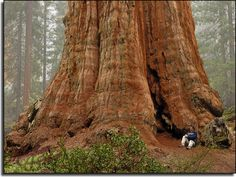 Giant Sequoia (Redwood) Tree. Redwood Forest California