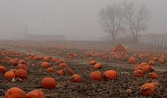 Leftover pumpkins in the early morning fog