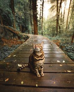 Cute Overload: Internet`s best cute dogs and cute cats are here. Aww pics and adorable animals. The Animals, Funny Animals, Forest Animals, Forest Cat, Animals Images, Pretty Cats, Beautiful Cats, Cute Kittens, Cats And Kittens