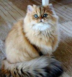 Chinchilla Cat! Very rare!