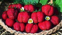 Ozark Beauty Strawberry from Stark Bro's