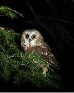 Northern Saw-whet Owl by Kevin Shank Family