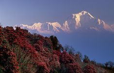 [NEPAL]  On an early april morning the white peaks of the Dhalaugiri massif tower above rhododendron covered slopes of Poon Hill near the village of Ghorepani. Some of the rhododendrons are giants having height of over 25 meter. @Paul Smit.