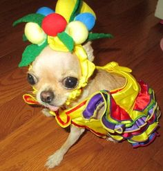 chihuahua--this little girl must be the winner in the Carmen Miranda look alike contest?