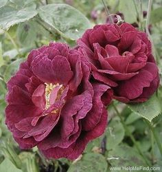'Tuscany Superb' rose
