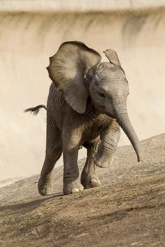 The newest member of the Safari Park's elephant herd, Quinisa, has put her best foot forward from day one. Photo from San Diego Zoo.