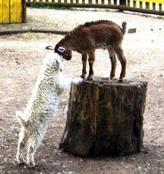 baby goat & baby angora goat