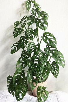 Learn how to care for this rare 'Swiss Cheese Vine', if you can get your hands on one that is.. (Toxic For Cats) Indoor Gardening Supplies, Container Gardening, Succulent Containers, Container Flowers, Container Plants, Vegetable Gardening, Hanging Plants, Indoor Plants, Hanging Baskets