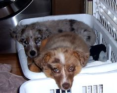 Elle and Gus.My favorite Aussie Shepherds! Aussie Shepherd, My Favorite Things, Pets, Animals, Red Tri Australian Shepherd, Animals And Pets, Animales, Australian Shepherd, Animaux