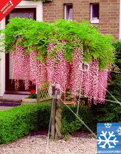 Glicynia chińska różowa Wisteria sinensis Rosea Hyzop - Katalog wysyłkowy