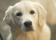 Bianca the Golden Retriever, Italy - 'Be Back Home' by mavironchi on 500px