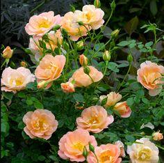 Oso-Easy-Roses.jpg (600×597)