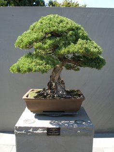 Japanese White Pine Bonsai | Flickr - Photo Sharing!