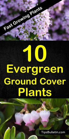 10 best evergreen fast growing ground cover plants covering year-round perennial plants for sun and shade. Perfect along your walkways and for landscaping projects. From periwinkle dragons blood and creeping phlox to bearberry and geraniums. Evergreen Ground Cover Plants, Ground Cover Plants Shade, Best Ground Cover Plants, Ground Covering Plants, Ground Covers For Sun, Perennial Ground Cover, Flowering Ground Cover Perennials, Ground Cover Flowers, Perennials