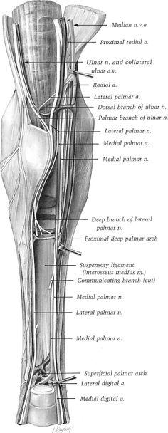 Image result for horse leg anatomy | Horse | Pinterest | Leg anatomy ...