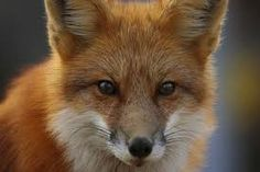 Fox face for a reference