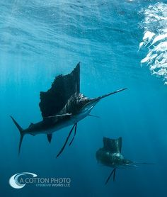 Sailfish & Bull Shark, by A Cotton Photo