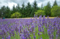 www.PacificaGallery.com  Lavender Fields in Oregon