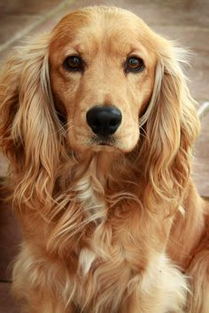 A list of the cutest golden cocker spaniel pictures. Are you in the mood to see some adorable photos of cocker spaniels? This is a list of some of the cutest golden cocker spaniel photos. 15 Dogs, Baby Dogs, Cute Puppies, Cute Dogs, Dogs And Puppies, Funny Dogs, Beautiful Dogs, Animals Beautiful, Simply Beautiful