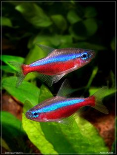 Cardinal Tetra (Cheirodon Axelrodii) - Adult size: 1.75 inches. Origin: South America