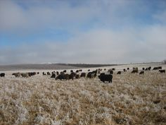 winter grazing instead of hay (going hayless)- complete discussion about this video on page.
