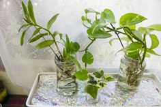 Are you a beginner gardener and want low maintenance house plants? How about trying indoor plants that grow in water. Water Plants Indoor, Plants Grown In Water, Indoor Plants Low Light, Best Indoor Plants, Hydroponic Farming, Hydroponics, Plant In Glass, Gardening For Beginners, Growing Plants