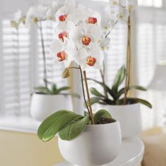 January Gardening & Planting Tips for the Moth Orchid