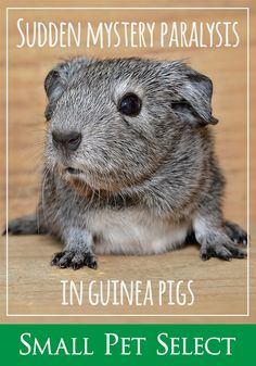 Sudden hind leg paralysis in guinea pigs is pretty common, though scary. Usually, it can be easily reversed with proper treatment. Small Pigs, Happy Animals, Pet Health, Guinea Pigs, The Selection, Mystery, Pets, Signs, Check