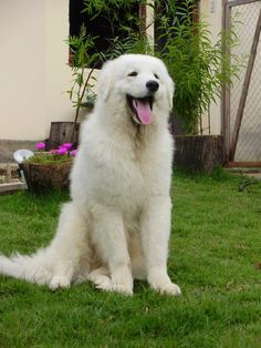 The Kuvasz (Kuvaszok) is an ancient Hungarian breed of dog herdsman.