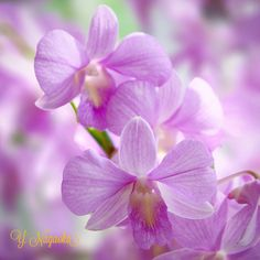 Dendrobium by Yuuji Nagaoka on 500px