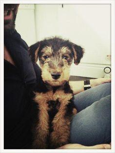 Eddie, Welsh Terrier pup
