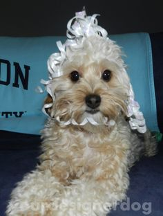 A New 'Do? - Your Designer Dog, http://www.yourdesignerdogblog.com/2014/06/02/new-hairdo/
